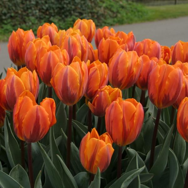 Tulipe Prinses Irene