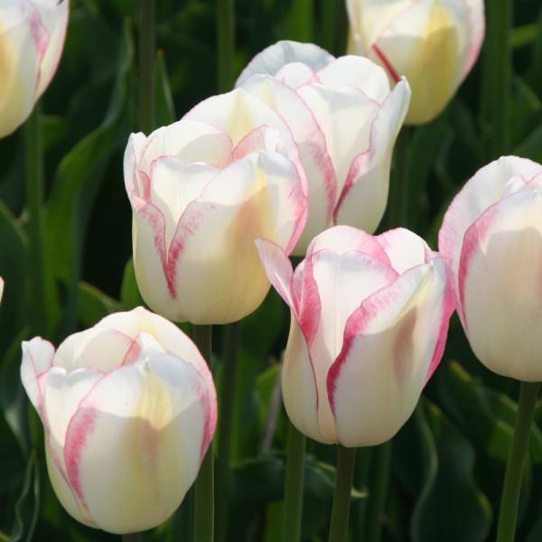 Tulipe Blushing Girl