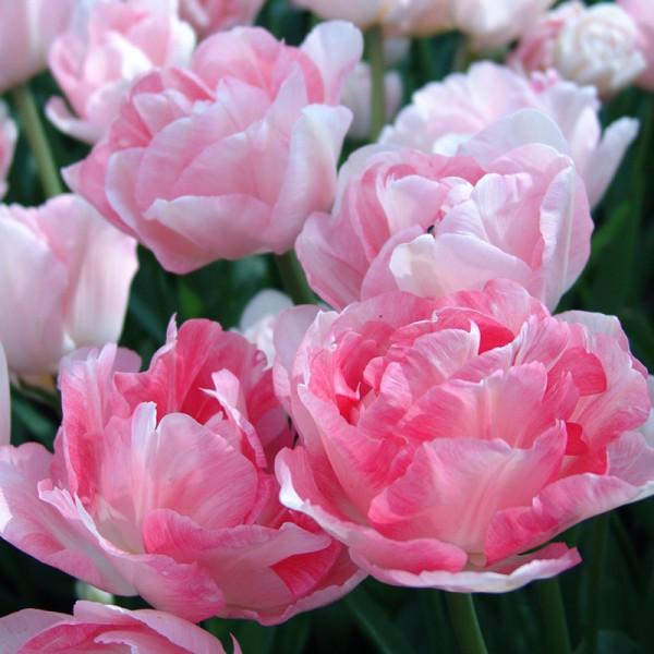 Emballage XL Tulipe Angelique